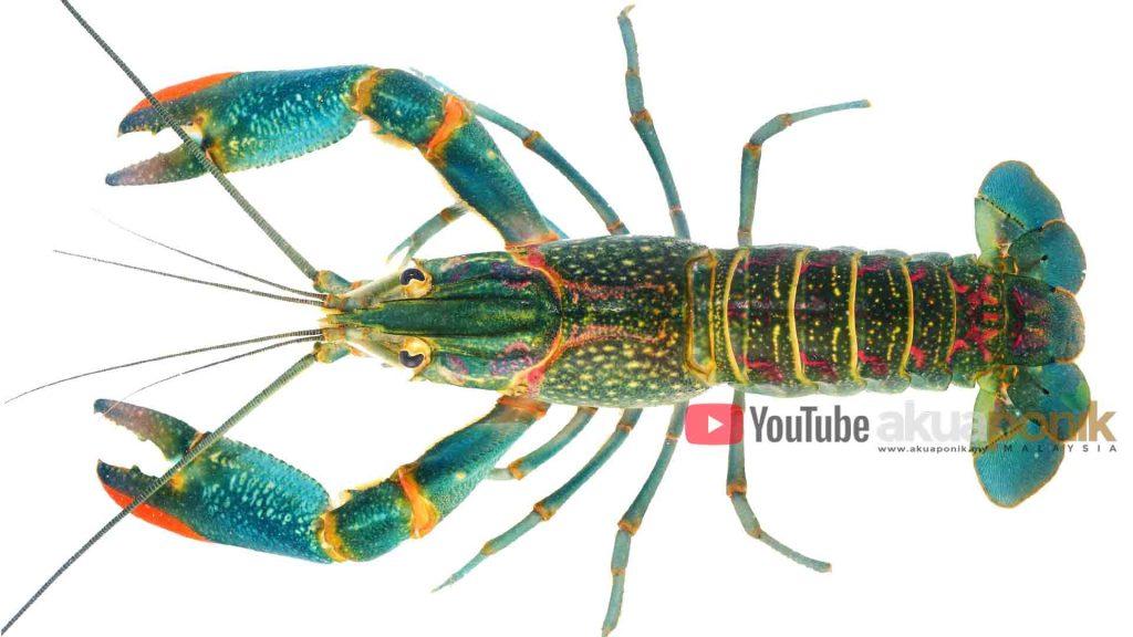 Jom Ternak Lobster Pengenalan Kepada Lobster Air Tawar